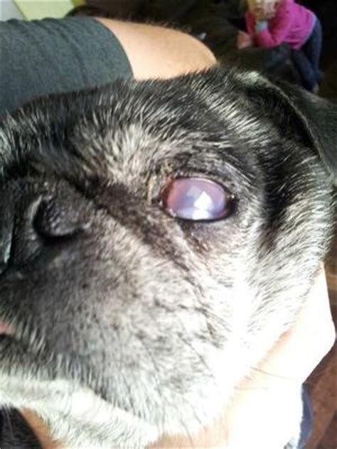 pug cloudy eye the and holistic care