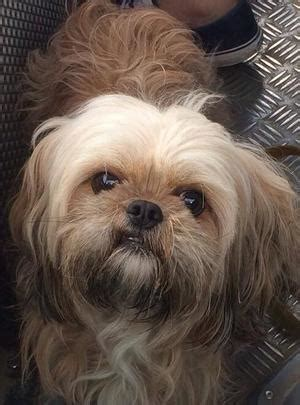 shih tzu crossed   cavalier king charles