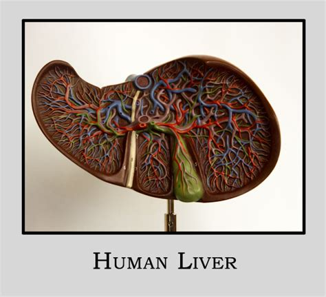 Liver Sections by Home Anatomy Models Library Guides At Of