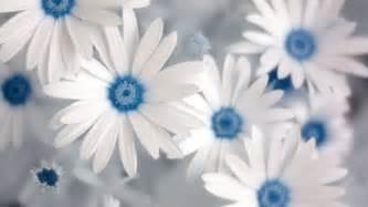 blue wallpaper with white flowers wallpapersafari