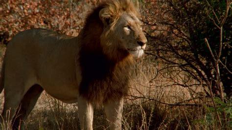 imagenes de leones salvajes image gallery leon animal salvaje