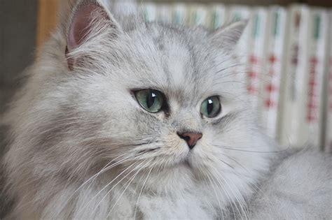 persiani chinchilla te lo contamos todo sobre la raza de gato persa chinchilla