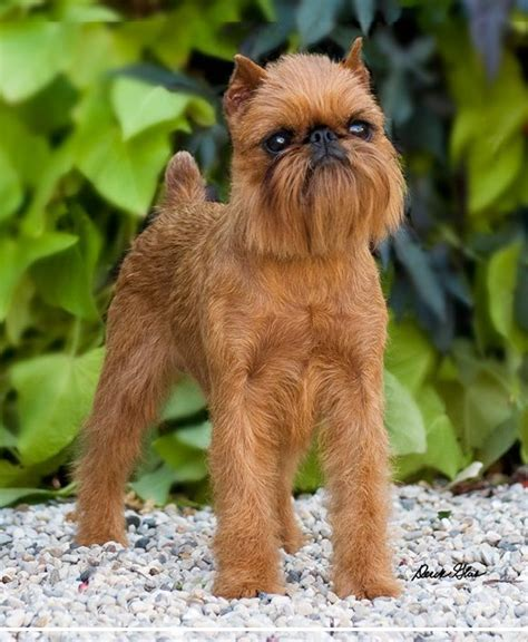 griffon dogs brussels griffon search you had me at quot woof quot