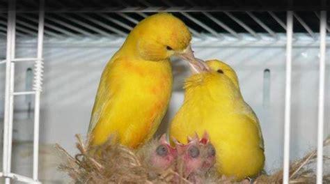 alimentazione canarini gialli canarini
