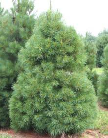 Ft Christmas Tree Sale - eastern white pine moon nurseries