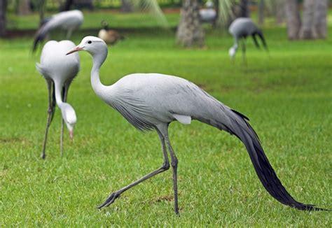 Woolworths Home Decor blue cranes massacred by farmer all 4 women