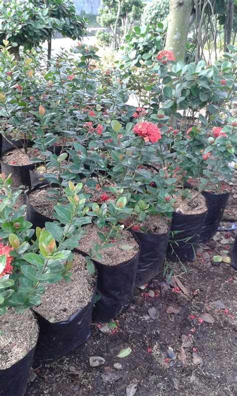 jual pohon soka murah tanaman bunga soka andreas taman