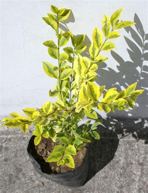 precios de plantas para jardin planta trueno arbusto plantas para decorar jardin ecuador