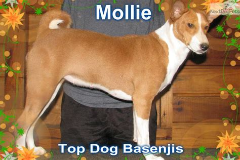 puppies for sale fort smith ar basenji the breeds show in arkansas breeds picture