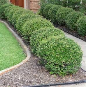 Best Trees For Front Yard - wheeler s dwarf pittosporum google search garden 2 pinterest dwarf landscaping and gardens