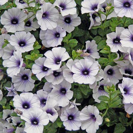 hang planten bloemen buiten surfinia hangpetunia verzorging ziektes vermeerderen
