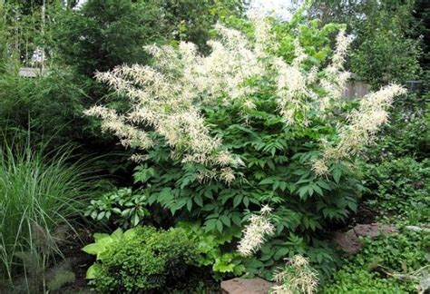 goats beard aruncus dioicus the goat s beard plant suzannah and brian s garden pinterest