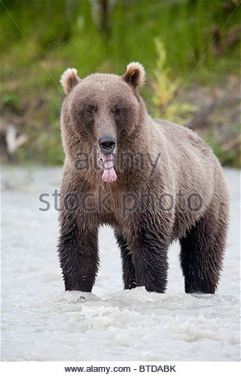bear with tongue sticking out bear sticking tongue out stock photos bear sticking