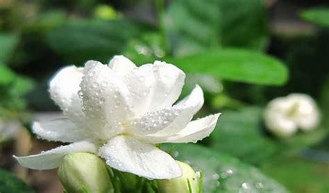 Tanaman Bunga Melati tanaman hias