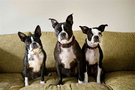 how much are boston terrier puppies boston terriers food ratings