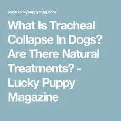 tracheal collapse home treatment tracheal collapse tracheal collapse