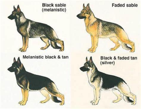 german shepherd color chart german shepherd color variance what i german