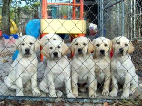 labrador puppies for sale in florida gorgeous yellow labrador puppies for sale in florida