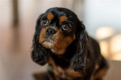 king charles breed cutest breeds adorable things to enjoy