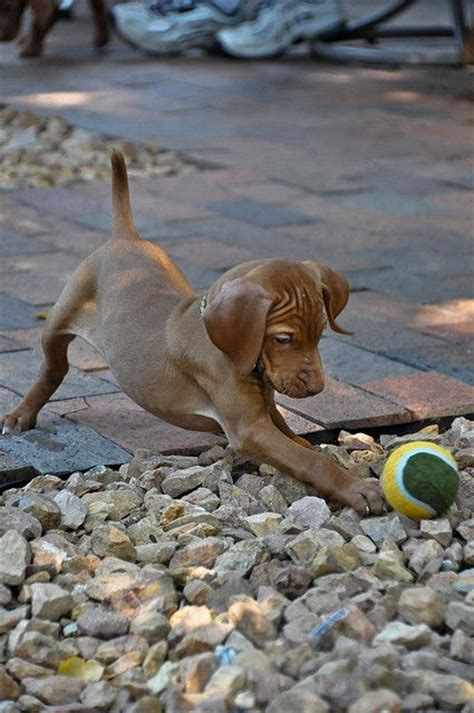 how much are vizsla puppies 25 best ideas about vizsla puppies on hungarian vizsla vizsla and vizsla