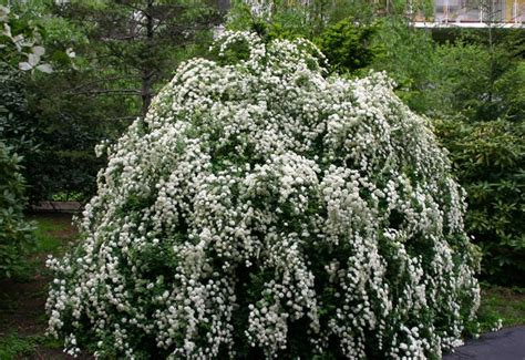 how to care for a bridal veil plant garden guides bridal veil bush photo hubert steed photos at pbase com