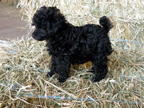 black poodle puppies black miniature poodle dala farm poodles sweet pix poodles