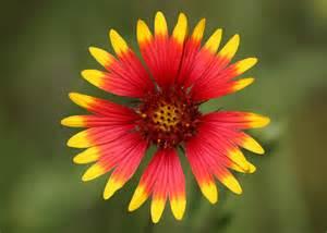 indianer decke indian blanket wildflower an indian blanket wildflower