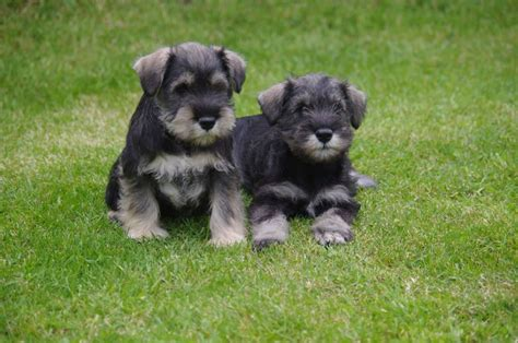 miniature puppies miniature schnauzer my rocks