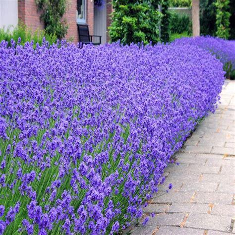 pflanzen bestellen lavendel munstead 7cm topf 5 pflanzen g 252 nstig