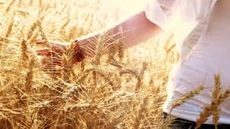 Wheat Magic by Wheat Field Stock Footage