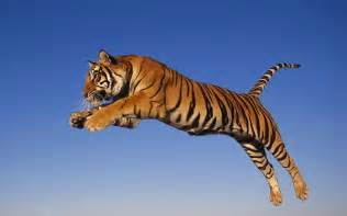 tigers animal picture tiger jumping high hd wallpaper