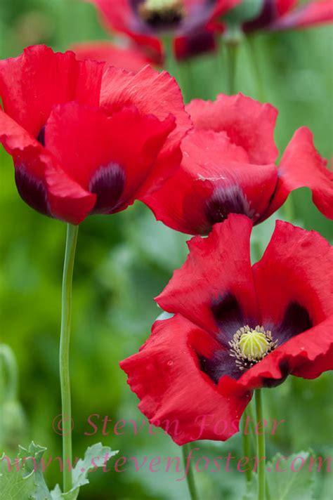 Opium papaver somniferum 661310 steven foster photos eureka