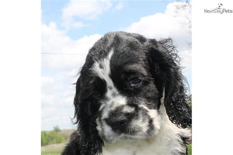 black and white cocker spaniel puppies cocker spaniel puppies black and white