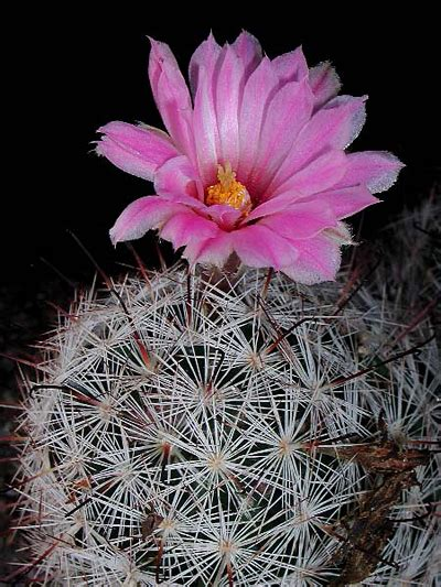 mammillaria tetrancistra cactus