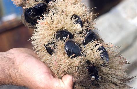 Calendar Island Mussels Mussel Farming The Vineyard Gazette Martha S Vineyard News