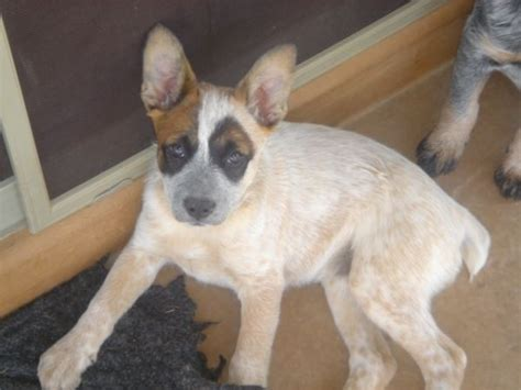 queensland heeler puppies craigslist 1000 images about must heelers on australian cattle cattle