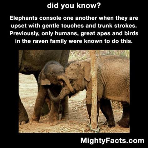 8 Facts On Elephants by 25 Best Ideas About Elephant Facts On