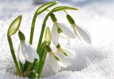 snow drop snowdrop 10 of s most beautiful blooming bulbs