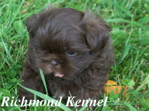 shih tzu puppies for sale richmond va richmondshihtzuforsale
