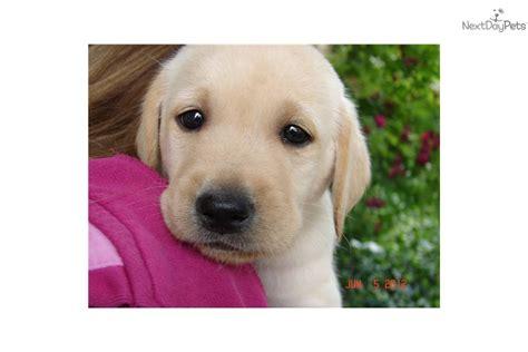 american lab puppies labrador retriever puppy for sale near las vegas nevada 8b996de8 3bf1