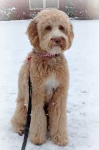 how to cut a goldendoodles hair best 25 goldendoodle grooming ideas on pinterest
