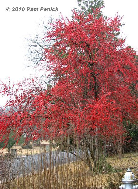 what deciduous tree has berries in winter plant this possumhaw adds to winter landscape digging