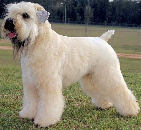 Soft Coated Wheaten Terrier Shedding by Soft Coated Wheaten Terrier Breed Information And Images K9rl