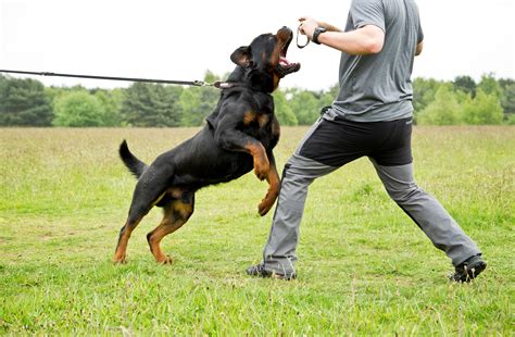 what types of rottweilers are there type of rottweiler dogs our friends photo