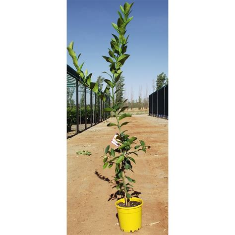 200mm meyer lemon tree bunnings warehouse