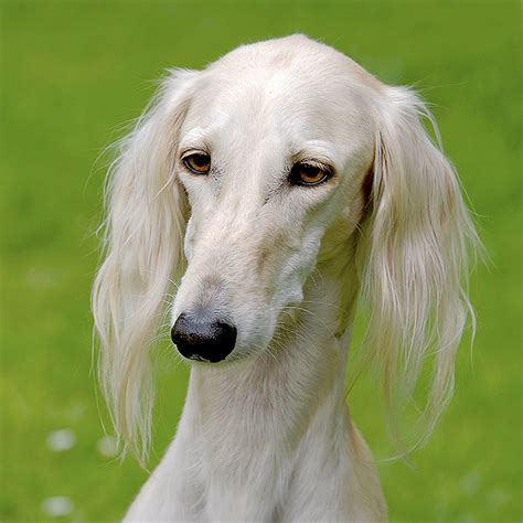 saluki puppy saluki mix puppies www pixshark images galleries with a bite