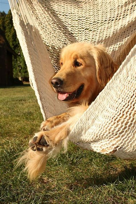 golden retrievers in need golden retrievers need to and hammocks on