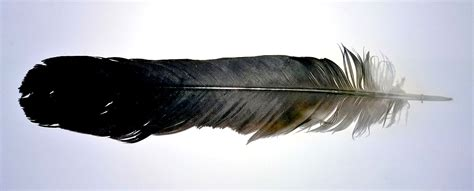 Feather Tattoo Meaning Ink Vivo Black Feather Meaning