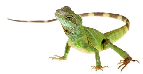 lizard images 12 home remedies to get rid of lizards 7 commercial