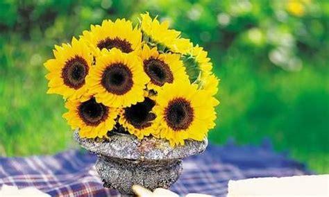 girasoli in vaso come coltivare i girasoli in vaso radici